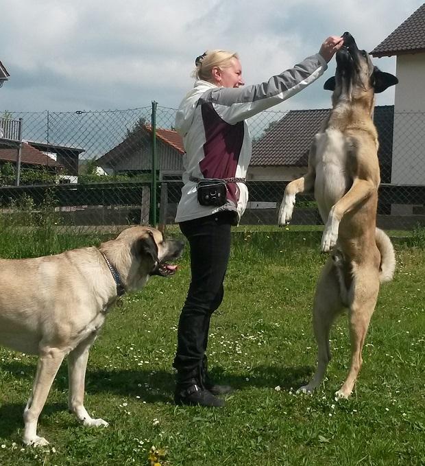 Kangal Hundeschule Hundetrainer In Tauberbischofsheim Würzburg